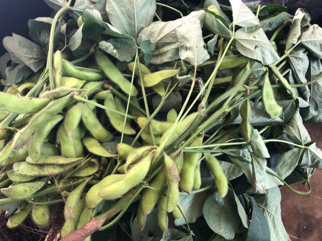 【枝豆の豆知識その4】美味しい枝豆の見分け方