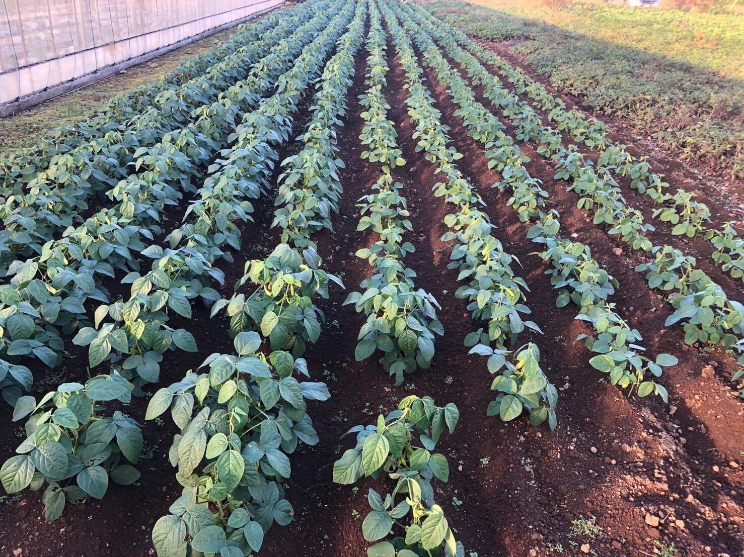栽培 枝豆 枝豆の育て方!栽培時期や土作り・種まき・苗の植え方・肥料・摘心・収穫のコツを紹介