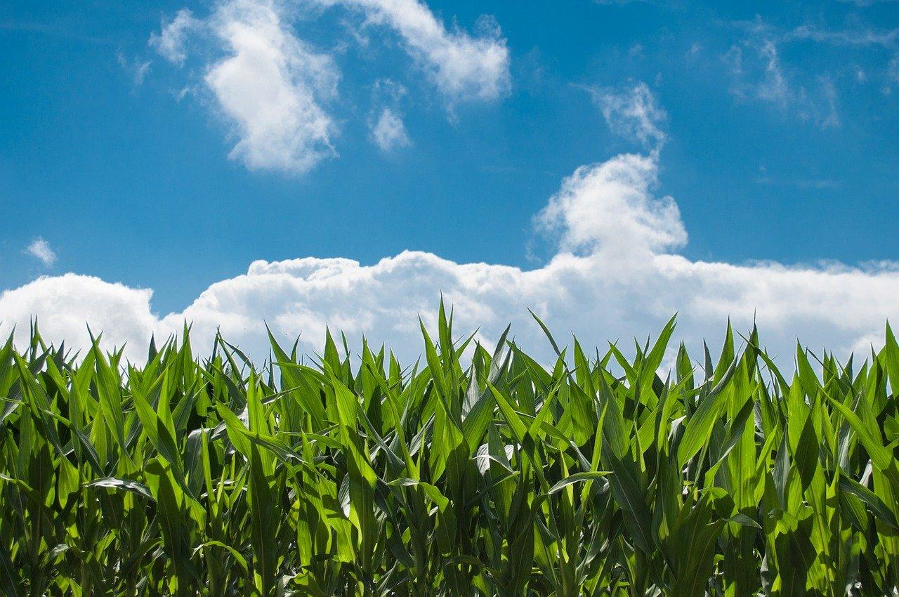 とうもろこしの賞味期限と最適な保存方法を現役農家が解説