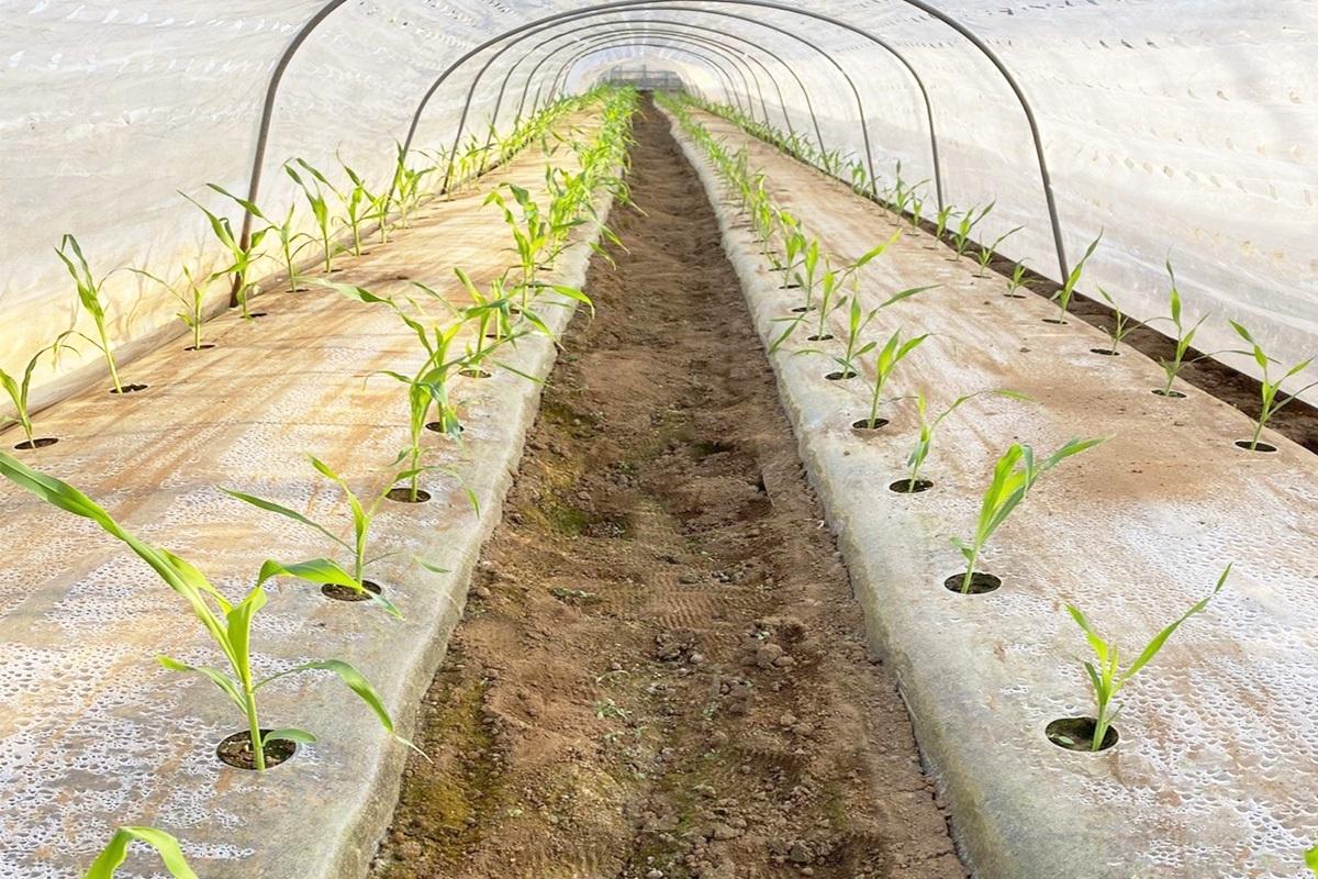 とうもろこしの栽培方法【農家直伝】